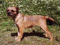 Hoksel Bebop, borderterrier