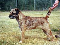 Bombax Ellida, borderterrier